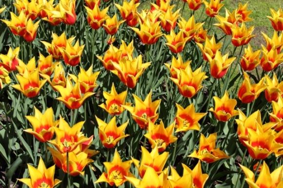 FireWork Tulips